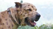 В России утвержден список опасных для человека собак